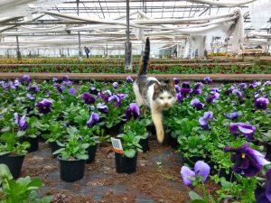 Trädgårdsvioler grossist