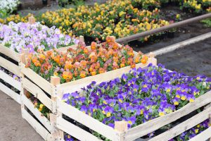 Penséer trädgård